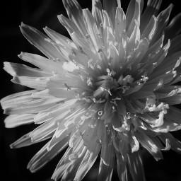 flower blackandwhite