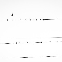 freetoedit wire birds blackandwhite flight