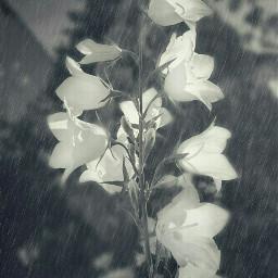 photography blackandwhite flower bluebell