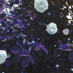 freetoedit levygrett flower roses