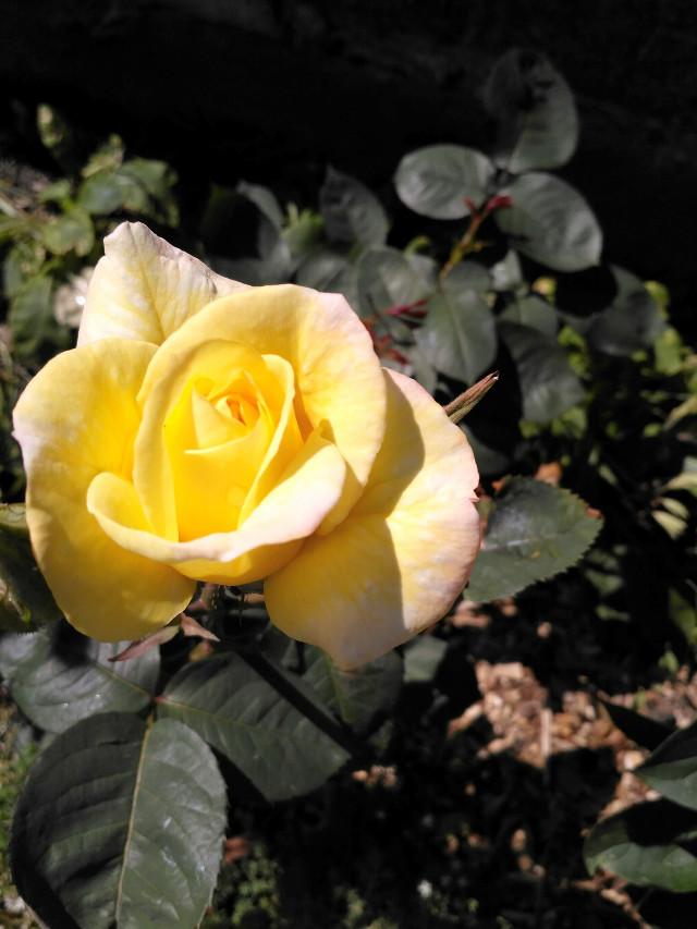 #FreeToEdit #rose #flower