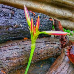 flower nature colorful rain monsoon freetoedit