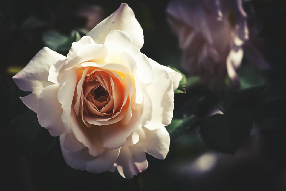 #FreeToEdit  #bokeh #colorful #flower #love #nature #cute #freetoedit #oldphoto #photography #retro #spring #summer #vintage #sepia #FreeToEdit