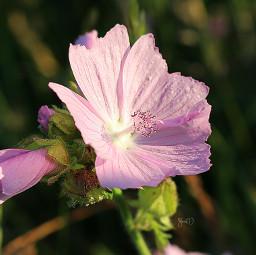 goodmorningflower paminimeeting2 flower blossom nature