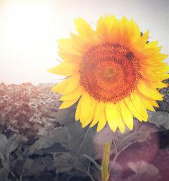 freetoedit remixed interesting sun sun_flower