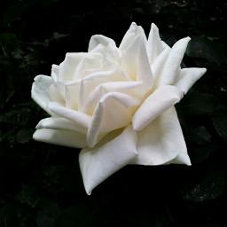 freetoedit rose white nature emotions