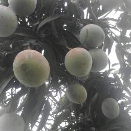freetoedit nature fruta arbol sin