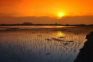 paddyfield picsart sunset goldencolour colorful