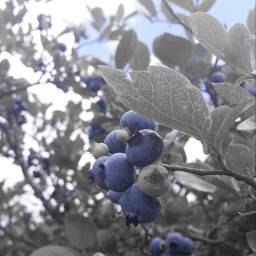 bluberries color yummy wppprimarycolors