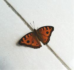 freetoedit butterfly orange photography